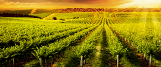 photo of an agricultural field in the sunset