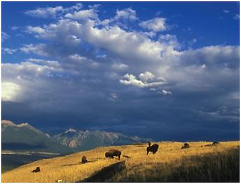 Photograph of prairie grasslands with mountains and bison.