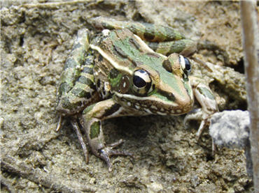 A Luminescent Florida Leopard Frog (And a Few Fairy Frogs ...